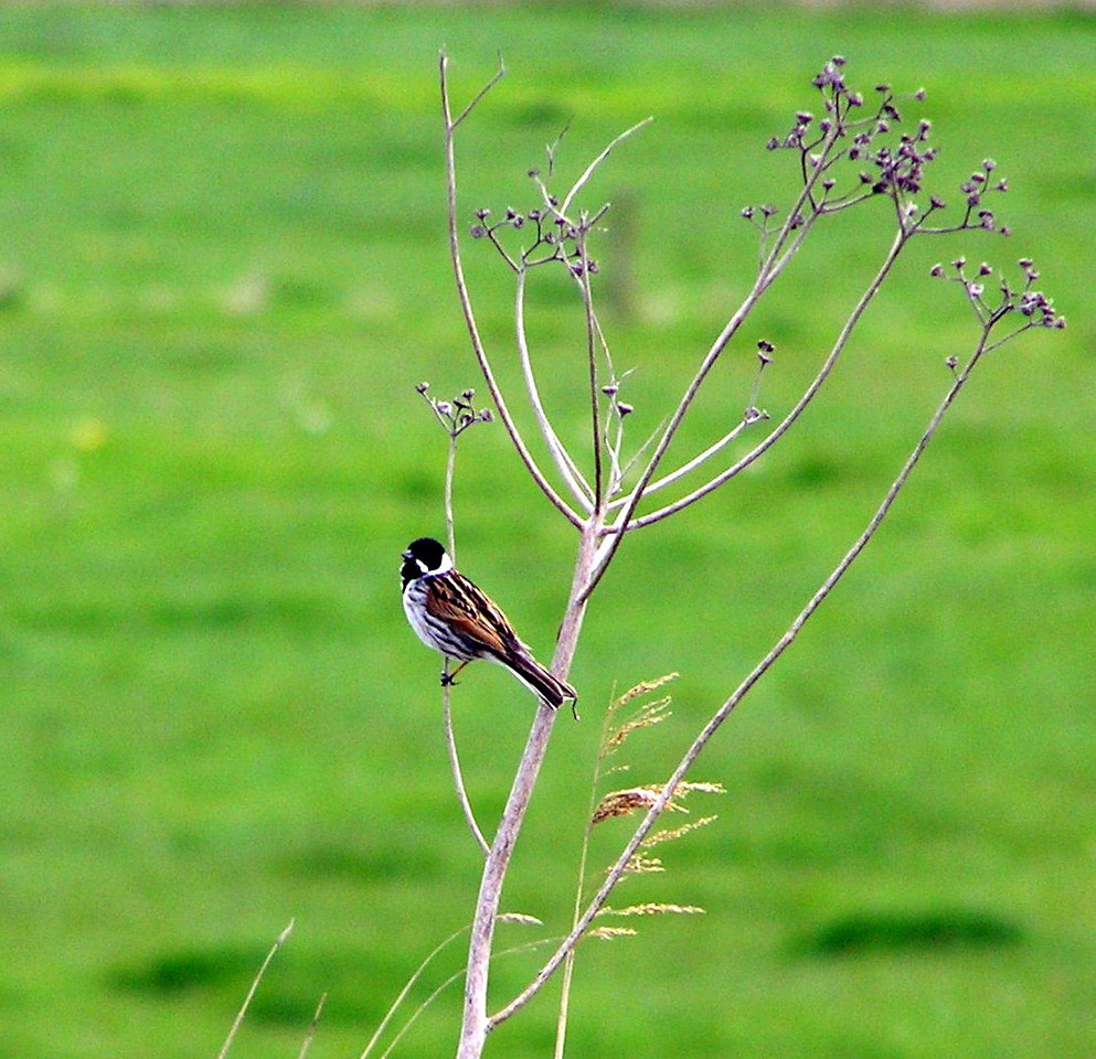 Reed Bunting on branch  Norfolk May 2010