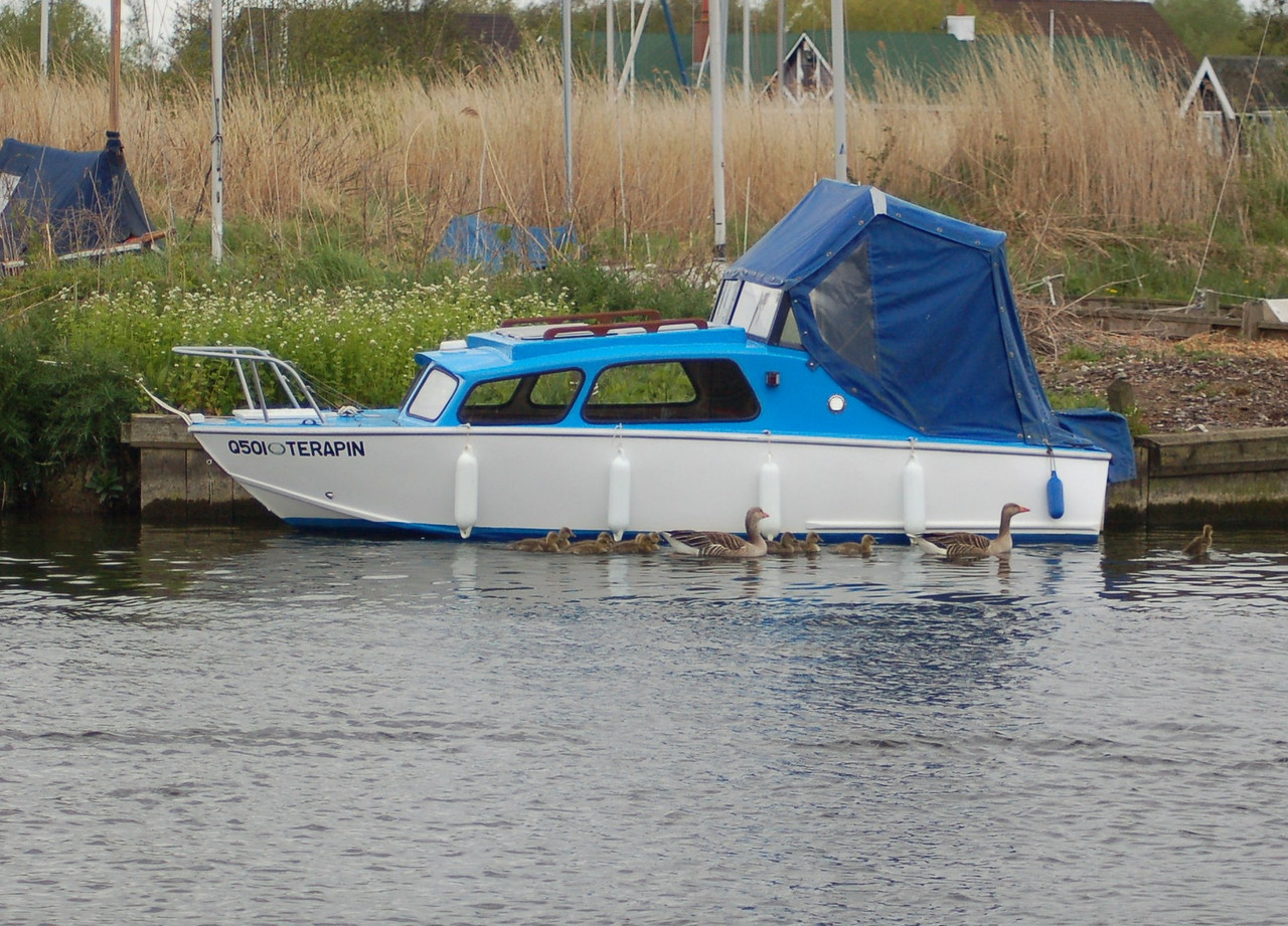 Greylag Goose Norfolk May 2010
