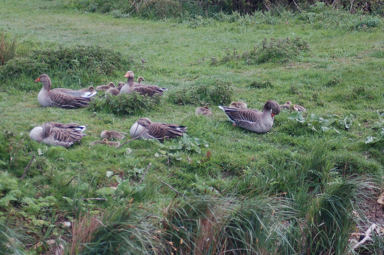 Greylag Goose 2 Norfolk May 2010