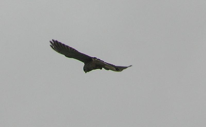 Kestrel 2 Norfolk May 2010
