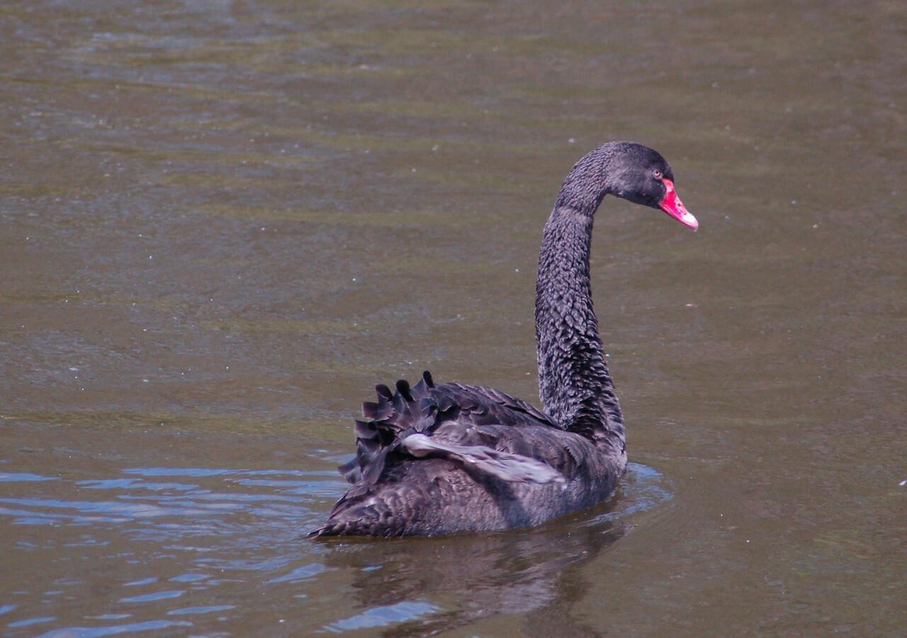 Black Swan Norfolk May 2010