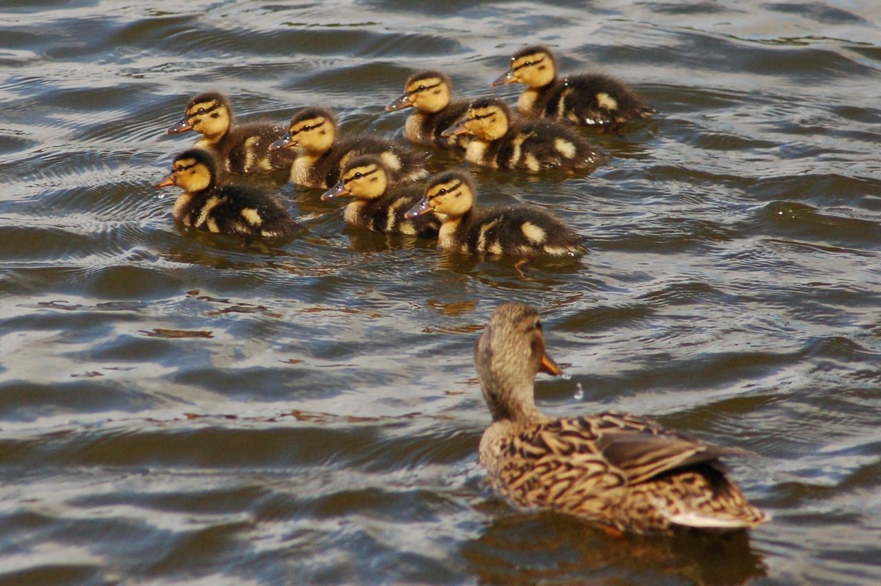 Mallard chicks Norfolk May 2010