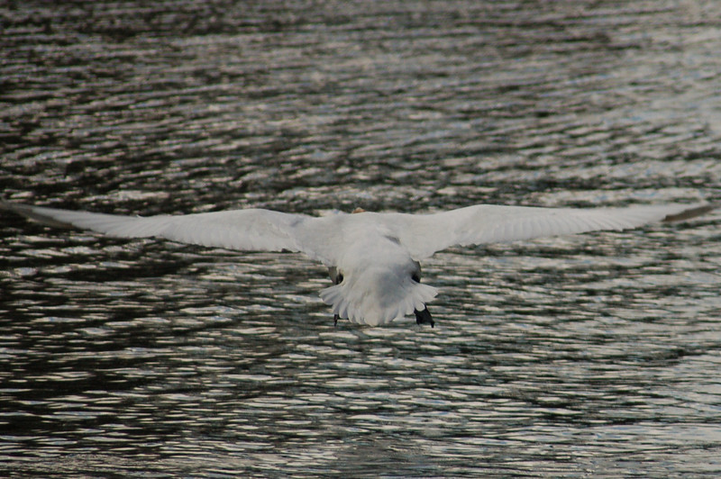 Mute Swan 2 flight Norfolk May 2010