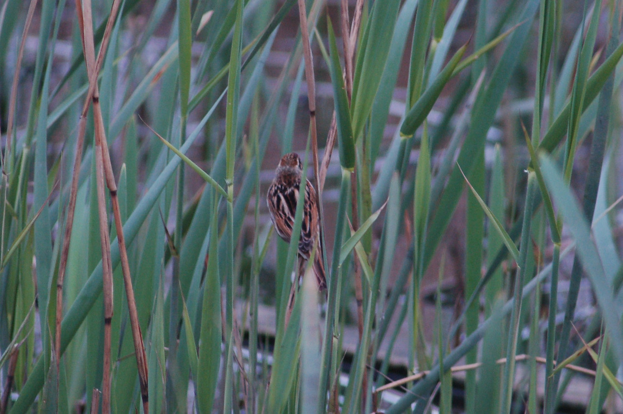 Reed Bunting Female Norfolk Strumpshaw Fen May 2010