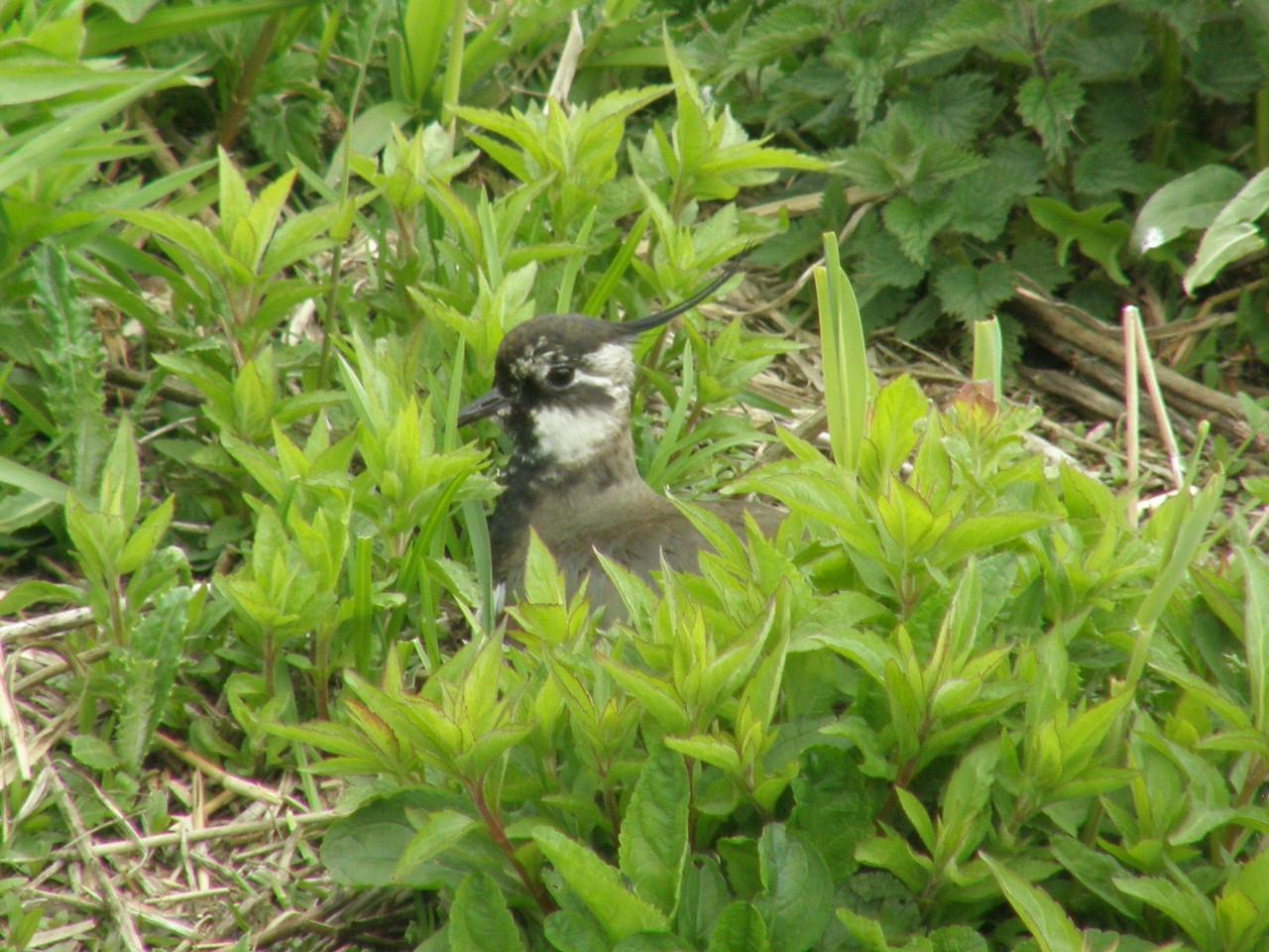 Lapwing Juvenile Norfolk May 2010