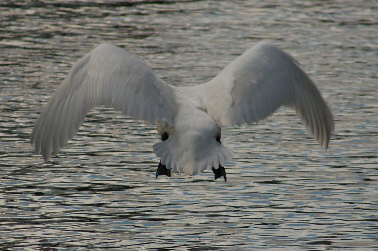 Mute Swan flight Norfolk May 2010