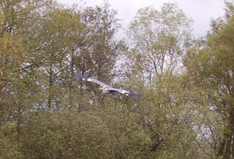 Grey Heron 3 Norfolk May 2010
