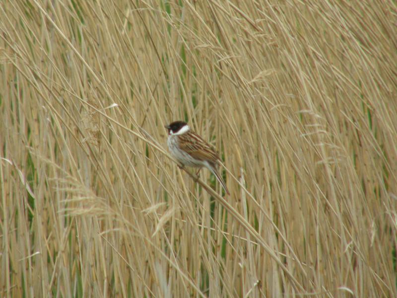 Reed Bunting Norfolk May 2010