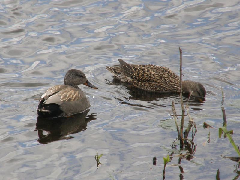 Gadwall Norfolk May 2010