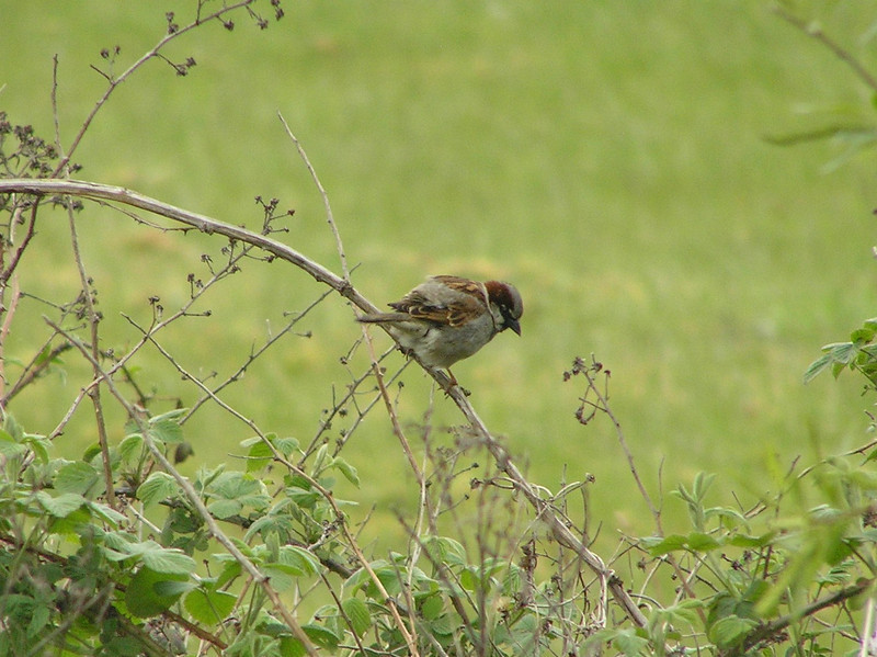 House Sparrow Norfolk May 2010