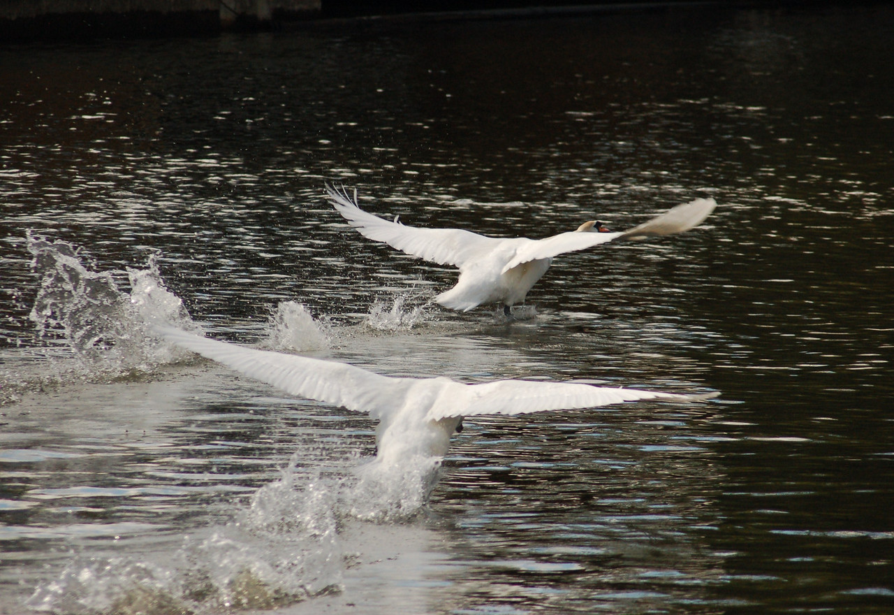 Mute Swan take off Norfolk May 2010