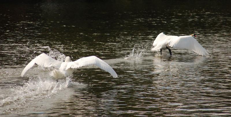 Mute Swan 2 take off Norfolk May 2010