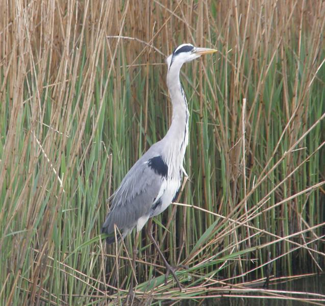 Grey Heron 2 Norfolk May 2010