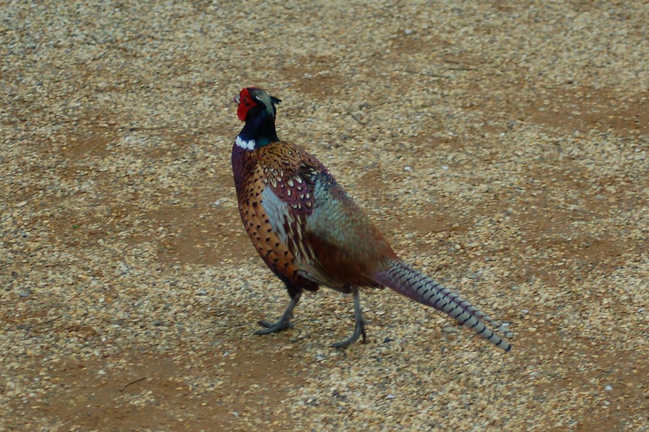 Pheasant Norfolk May 2010