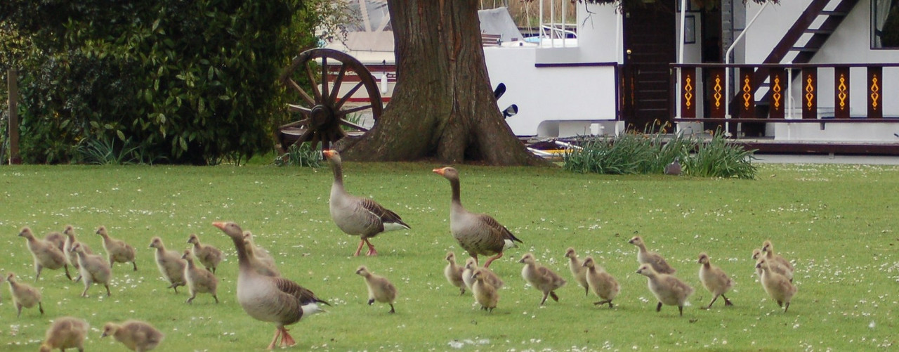 Greylag Goose and chicks 2 Norfolk May 2010