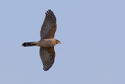 Cooper's Hawk was checking the gull and shorebird flocks along the southern western shores of Lake Erie.