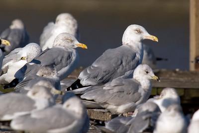 Herring Gulls standing amongst smaller Ring-billed Gulls