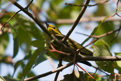 Cape May Warbler - Magee Marsh