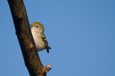 Chestnut-sided Warbler - Magee Marsh