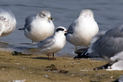 Forster's Tern - found 2 of them on November 4, 2009 at Maumee Beach State Park.