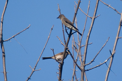 Olive-sided Flycatcher - Magee Marsh Boardwalk (with White-throated Sparrow below)