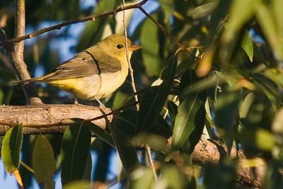 Female Scarlet Tanager - Magee Marsh