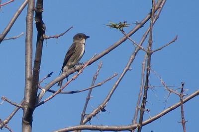 Olive-sided Flycatcher - Magee Marsh Boardwalk