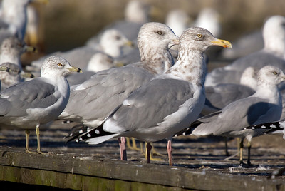 Herring Gull (center), with Ring-billed Gull on left and right.