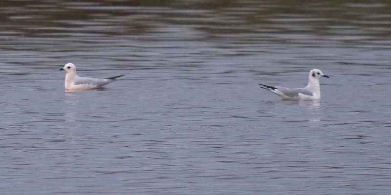 Ross's Gull on left, with Bonaparte's Gull on right offering nice comparison.