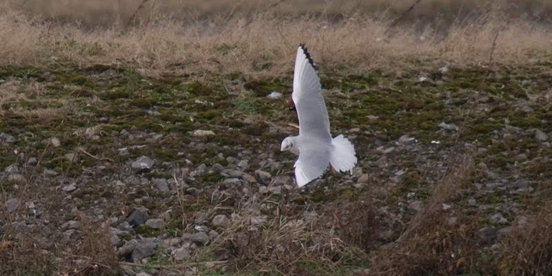Bonaparte's Gull in flight for comparison purposes - note the rounded tail and differing wing pattern.