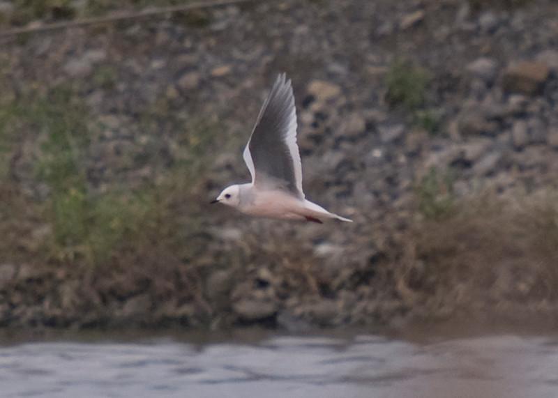 Adult Ross's gull in basic/winter plumage. Distinctive underwing pattern, pinkish breast, short bill, dark pink legs.