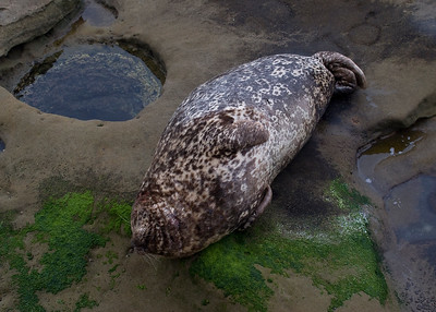 Harbour Seal at rest on the rocks. Showed signs of some recent fights.