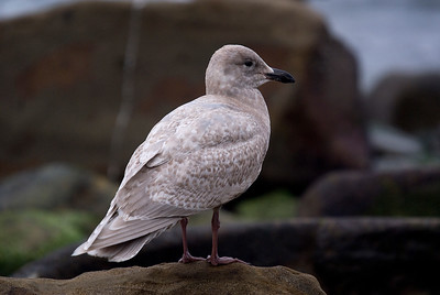 Glaucous-winged Gull - February 2012