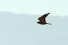 Lesser Nighthawk - Taft, CA