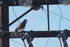 Prairie Falcon - Ramona, CA