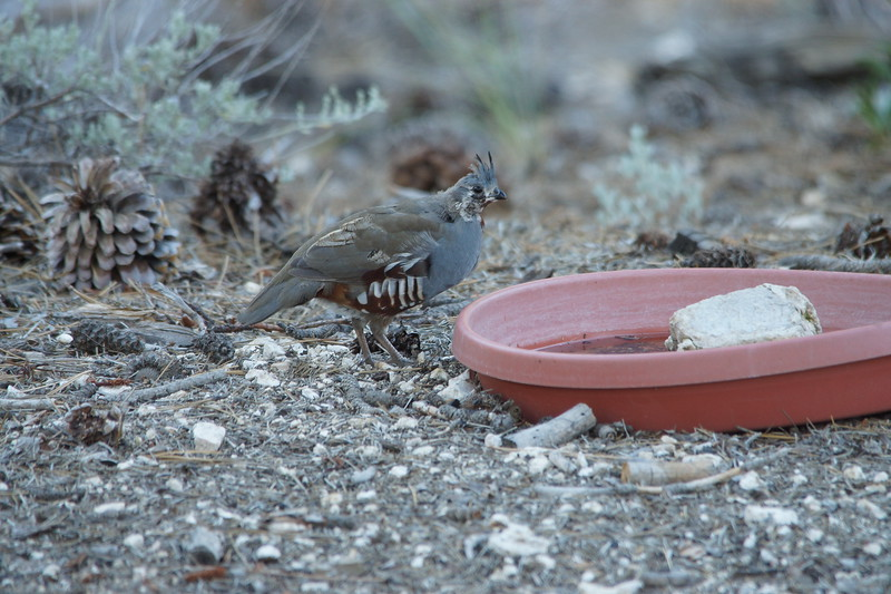 Mountain Quail - Chilao Visitor Center, Angeles National Forest