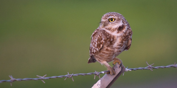 Burrowing Owl - February 2012