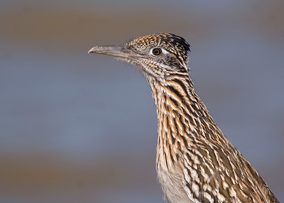 Greater Roadrunner - February 2012