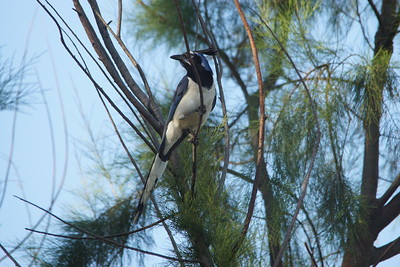 Black-throated Magpie Jay - San Diego, CA