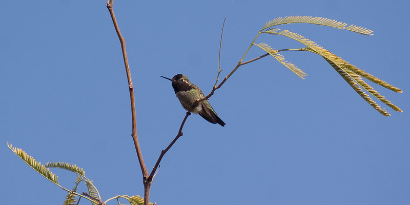 I could have sworn i saw a purple shimmer, and thought i had a Costa's Hummingbird. But the shape of the throat just doesn't look right. So i suspect this is another Anna's Hummingbird.