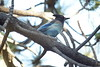 Steller's Jay - Chilao VC - Angeles National Forest