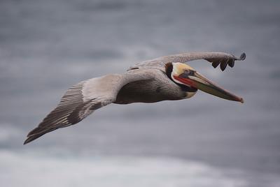 Brown Pelican - February 2012
