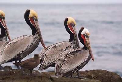 Brown Pelican  (and Heerman's Gull) - February 2012