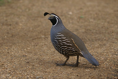 California Quail (male) - Golden Gate Park, San Francisco.