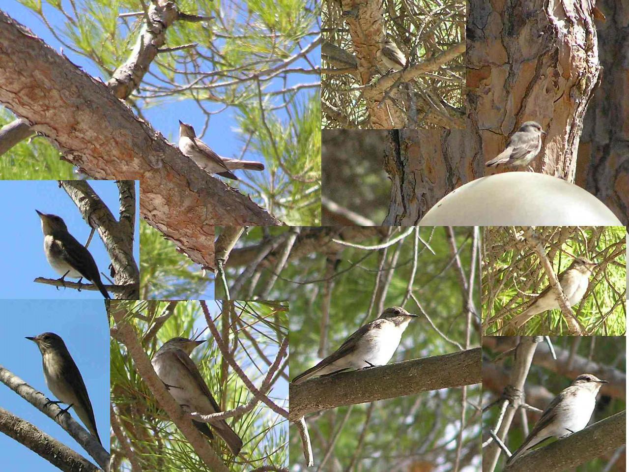 SpottedFlycatcher_Sardinia_Aug2006