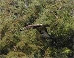 Sardinia_Bonellis_Eagle2_Sept2006
