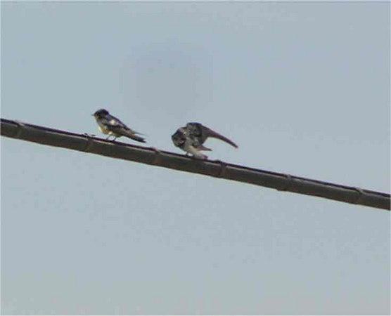 Sardinia_BarnSwallow_Sept2006