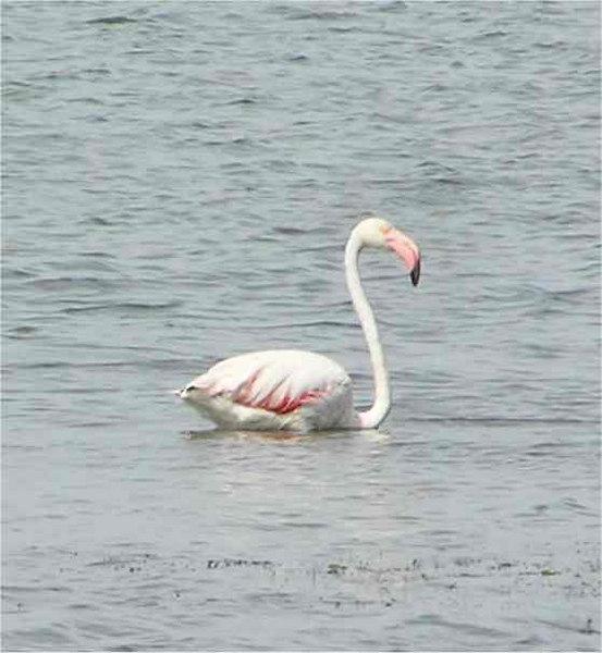 Sardinia_Flamingo2_Sept2006