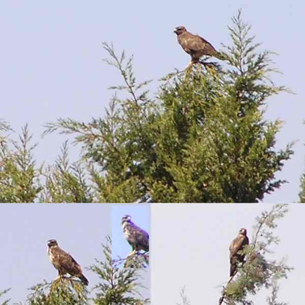 Sardinia_Bonellis_Eagle_Sept2006