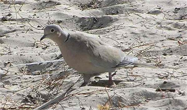Sardinia_Collared_Dove_Sept2006